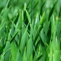 green blades of grass