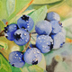 Blues Berries - Farm to Canvas Series, by Gideon booth #61