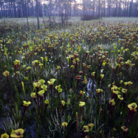 "Lecture Series: ""Panhandle Florida's Spectacular Seepage Bog Wetlands: Vanishing Biodiversity and Why You Should Care"" by Dr. Bruce Means (Coastal Plains Inst.)"