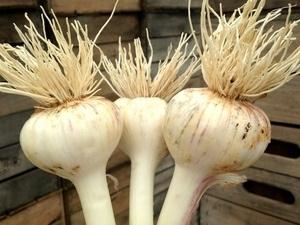 U-Pick Garlic Harvest Party