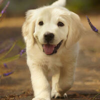 The Hush Puppies A Therapy Dog Event Florida State University Calendar