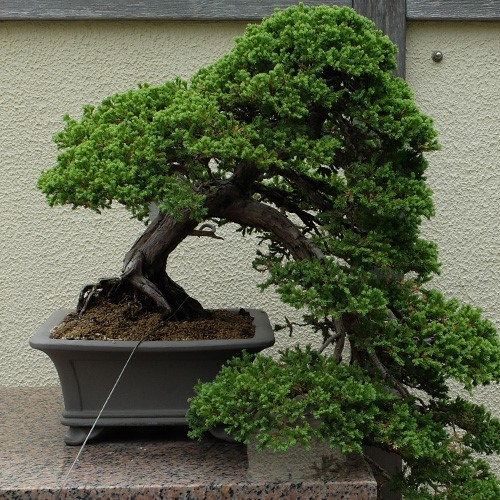 Bonsai For Beginners Cornell