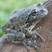 Fabulous Frogs of PA