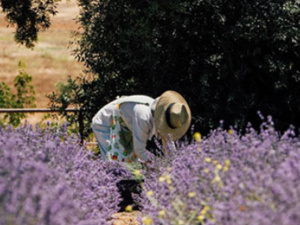 Last Weekend - THE 15TH ANNUAL LAVENDER FESTIVAL