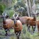 TCI Seminar | The Mountain Bongo Antelope: repatriation and recovery
