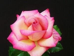 Greater Gwinnett Rose Society Fall Rose Show