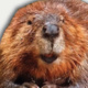 The Surprising, Secret Lives of Beavers And Why They Matter