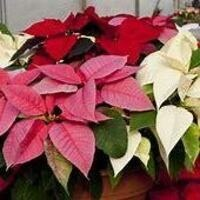 MIT Endicott House On Campus Holiday Plant Sale