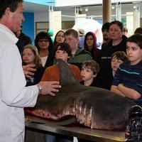 Shark Day - Salmon Shark Necropsy - January 12th