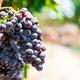 2019 Grape Day