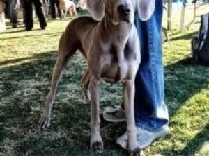 The Annual Kennel Club of Palm Springs AKC Licensed All Breed Dog Shows, Obedience and Rally Trials