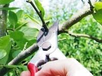 Advanced Master Gardener Training - Fruit Tree and Small Fruit Pruning