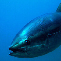 Screening and Discussion: Bluefin: The Last of the Giants