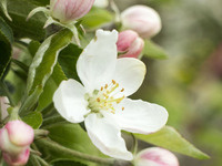 In-Depth Fruit School on Precision Crop Load Management and Plant Growth Regulator Use in Apples