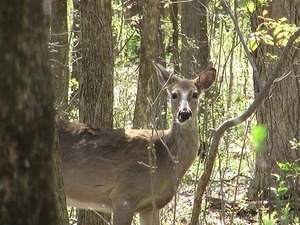 Toddler Trek Tuesday: Whitetails in the Forest