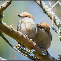 Feathered Fiefdoms & Family Living of the Brown-headed Nuthatch
