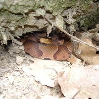 Venomous Snakes of PA