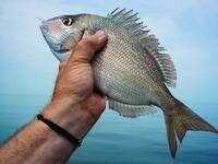 LET'S JUMP IN & GO! Peconic Bay Porgy Fishing